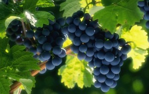 врачи запрещают виноград